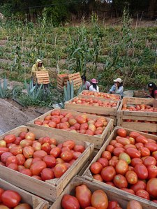 Mexiko (Guerrero) - Biologische Tomaten