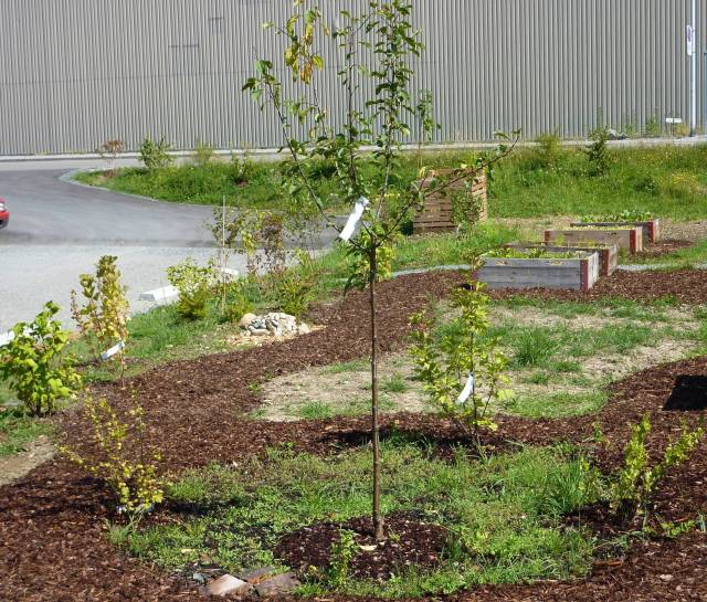 Essbares, Blumen und Gründüngung übernehmen langsam die Bereiche unter und um die Bäume