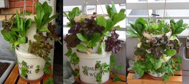 Entwicklung unseres Kübels: Das letzte Bild wurde nach einem Monat aufgenommen. Den Pflanzen scheint es gut zu gehen, der Kübel quillt fast über!